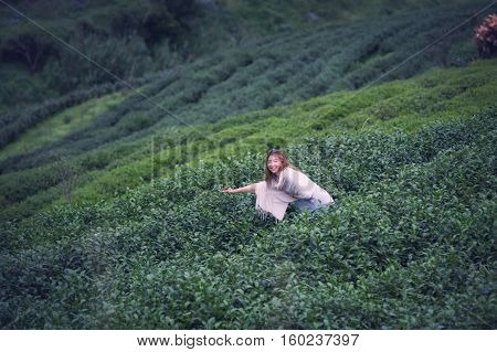 Asian Woman Picking Tea Leaf In Plantation, Angkhang Mountain Th