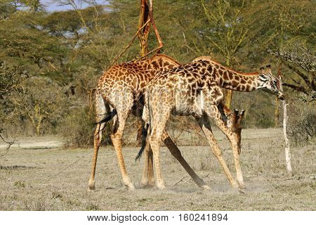 giraffe In Selous game reserve in tanzania, Africa