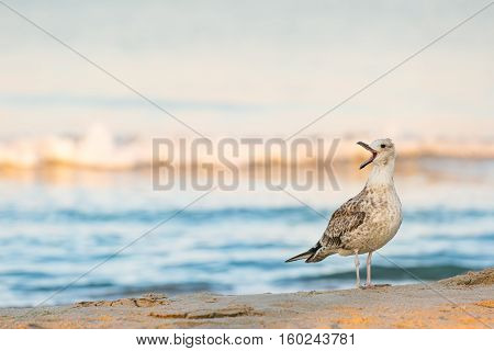 Lone seagull (Larus michahellis) cries standing on a sandy seashore