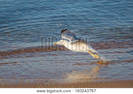 Seagull (Larus michahellis) takes off from water