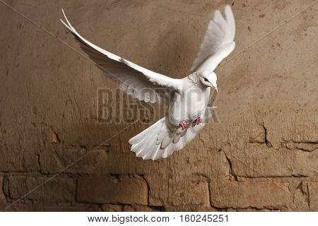 white dove flying against a background of an old brick wall, pigeon, mail, good news, peace