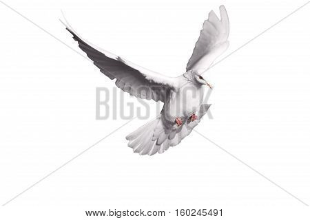 white dove flying on white background for freedom concept in clipping path, international day of peace 2017, pigeon, mail, good news, peace