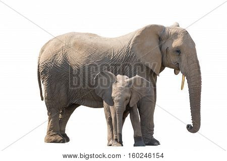 Elefant With Calw Isolated On White Background