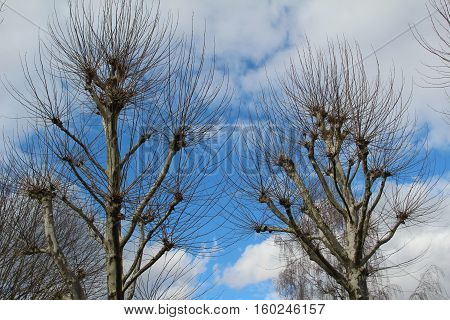 Plane / Plane trees against the sky
