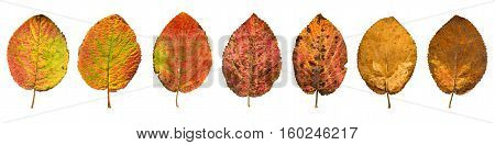 Close-up Photograph Of Front And Backside Of  Withering Autumnal  Leaves Isolated