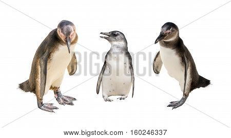 Set Of Three Pinguin Portraits Isolated On White Background