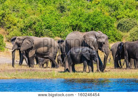 The concept of active tourism. Large herd of African elephants at the watering. River Okavango, Botswana, Chobe National Park