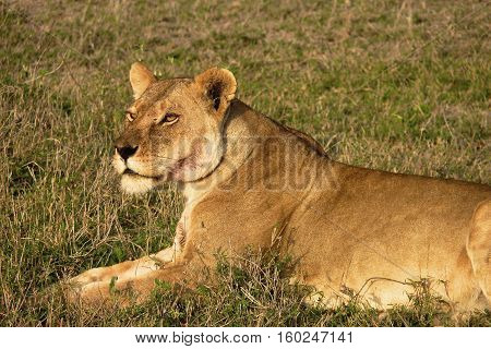 lion in selous game reserve in tanzania, Africa