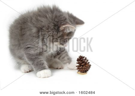 Kitten With Christmas Pine Cone