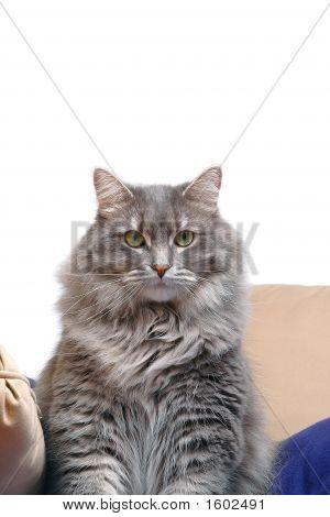 Gray Cat On Cushions