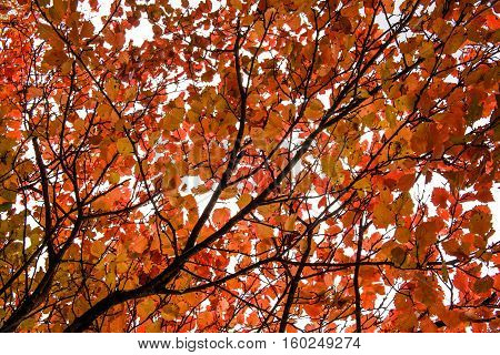 Red autumn leaves of an aspen, background, texture