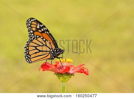 Male Monarch butterfly pollinating a bright red Zinnia flower