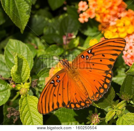 Dorsal view of a Gulf Fritillary butterfly on a Lantana flower