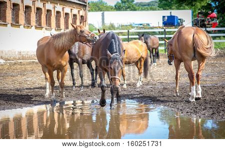 unsuited mare resting in a paddock near the huge puddles of water with the reflection of the sky