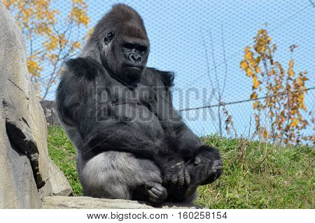 Lowland Western Gorilla sitting outside in the sun