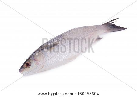 Grey Mullet Or Flathead Mullet Fish (mugil Cephalus) Isolated On White Background.