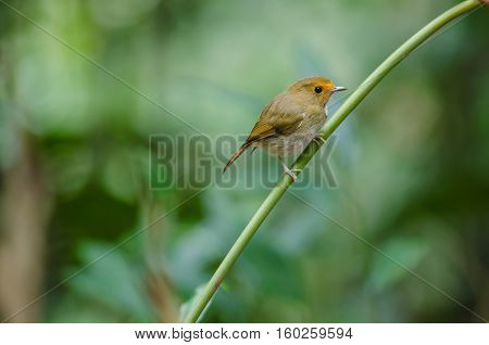 Rufous-browed Flycatcher Perch On Branch