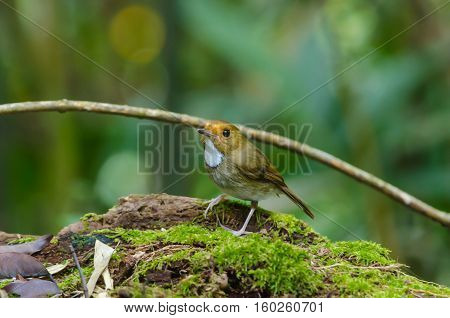 Rufous-browed Flycatcher (Ficedula solitaris) perch on branch