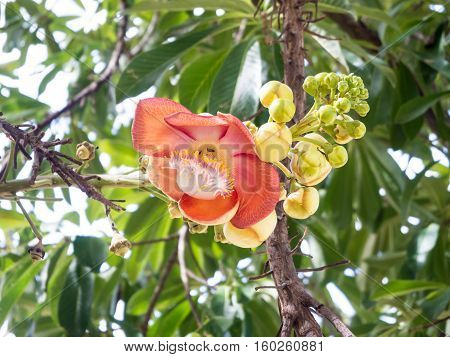 Couroupita guianensis or cannonball flower in temple area.