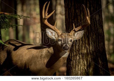 Large White-tailed Deer Buck In Woods
