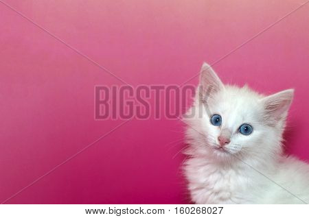 Portrait of a white domestic medium hair kitten with blue eyes looking forward isolated on a mottled pink and yellow background with copy space for text.