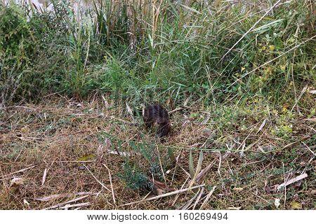 Nutria lives at Lake Hula, likes marshy banks of rivers and lakes