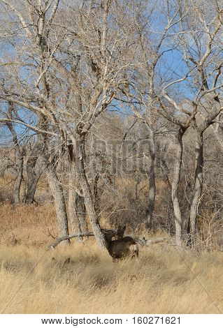 Mule deer grooming one anther in winter grove of trees