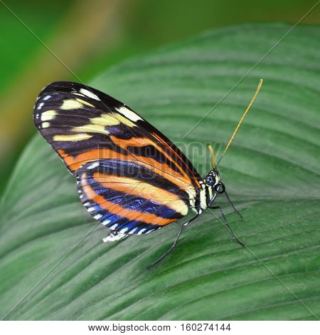 beautiful butterfly zebra longwing, Ismenius tiger, Heliconius ismenius