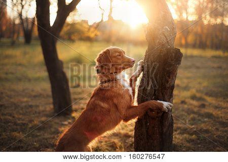 Nova Scotia Duck Tolling Retriever, Dog Put His Paws On Tree,