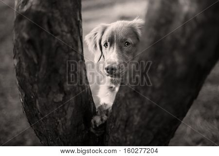 Nova Scotia Duck Tolling Retriever dog put his paws on tree walk in autumn park