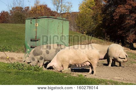 Four female hogs rooting for food on a Wisconsin farm in Autumn.