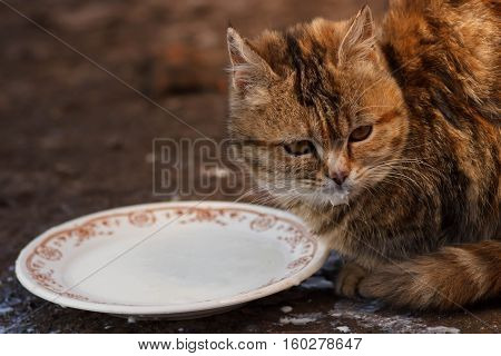 Cats drinking milk from bowl. Clouse up