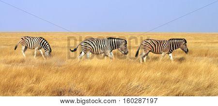 zebra in serengeti national park, Tanzania - Africa