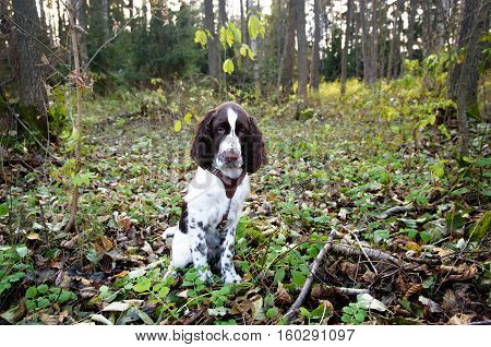 Cute Puppy English Springer Spaniel lying on the nature. Cute Puppy English Springer Spaniel in the fall forest