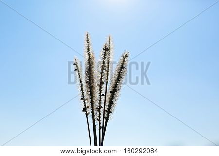 Backlit photo of foxtail grass agains blue sky taken during autumn sunny day