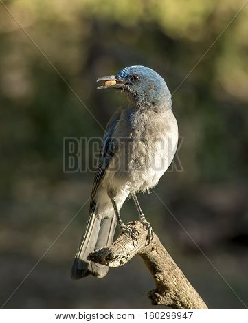 A beautiful Mexican Jay grabs a peanut from a birdfeeder in a southeastern Arizona canyon.