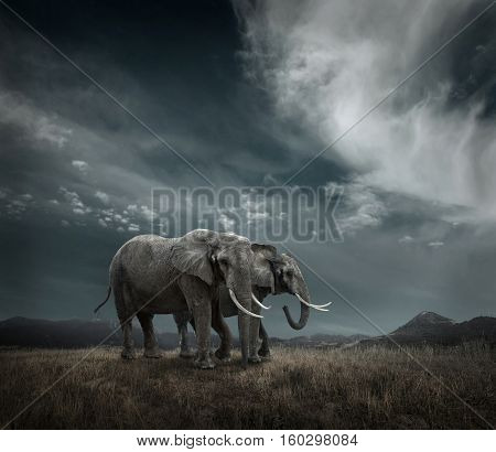 Elephant with trunks and big ears outdoor under sunlight.