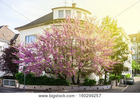 Beautiful Judas Tree in purple bloom in front of a house residence. Cercis siliquastrum from which Judas Iscariot is reputed to have hanged himself