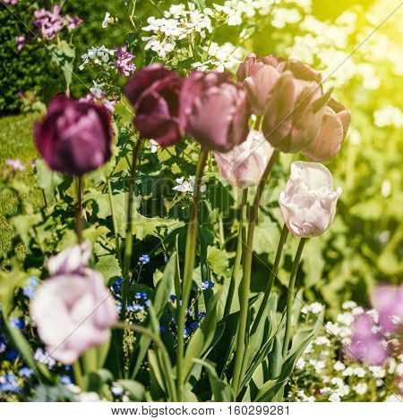 Majestic purple and pink tulips in garden seen through a tilt-shift lens for a better focus contrast on a summer day with sun flare