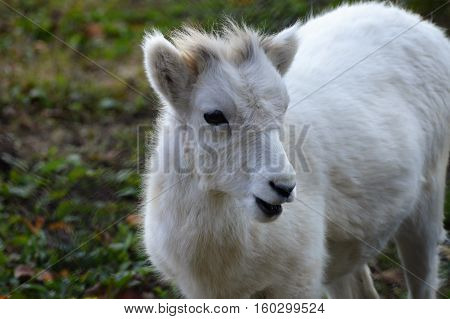 A Dall sheep out in the green grass