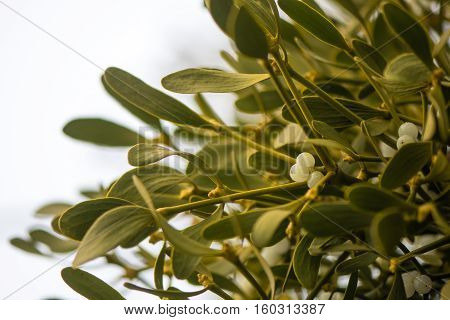 Mistletoe (Viscum album) plant with berries on tree. Evergreen hemi-parasitic shrub in the family Santalaceae growing on hawthorn