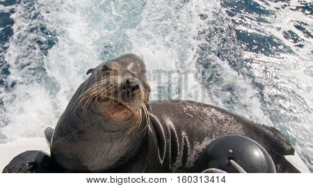 California Sea Lion on the back of charter fishing boat in Cabo San Lucas Mexico
