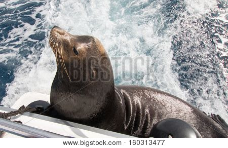 California Sea Lion on the back of charter fishing boat in Cabo San Lucas Mexico BCS