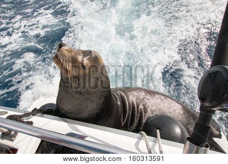 California Sea Lion on the back of charter fishing boat in Cabo San Lucas Baja Mexico