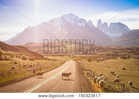 heeps herd grazing at sheepfarm on the road to Torres del Paine in Patagonia chilena - Travel wanderlust concept with nature wonder in Chile south america - Warm saturated filter on enhance sunflare