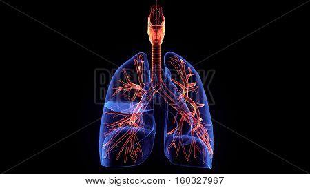 3d illustration human body respiratory system.human body part.