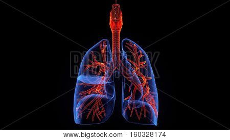 3d illustration human body respiratory system.human body part.