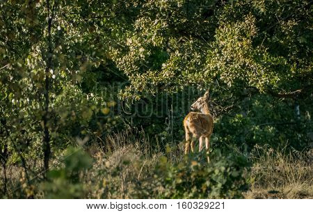 Roe deer - A roe deer standing in the sun.