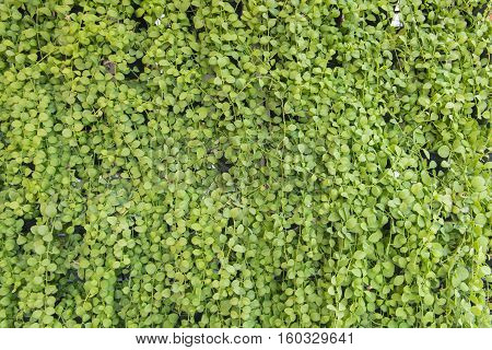 Dischidia Ruscifolia Or Million Hearts Plant Natural Patterns For Background