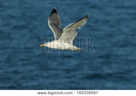 Yellow-legged gull ( Larus michahellis ) in flight off the coast of Peniche Portugal.